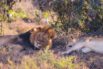 Lion sleeping on safari in South Africa