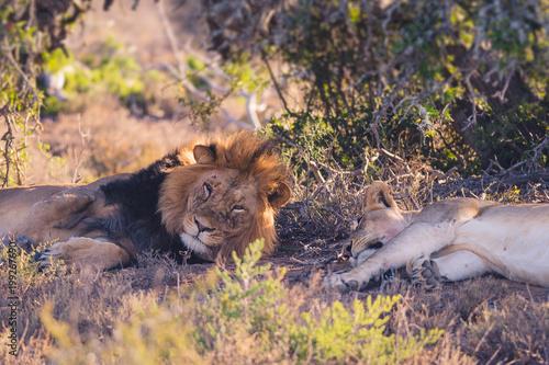 Plexiglas Lion Lion sleeping on safari in South Africa