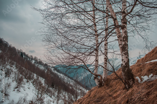 Fotobehang Diepbruine Birch trees with italian alps in the background and snow