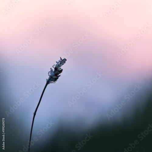 flower plant on summer morning sunrise. Nature - 199269078