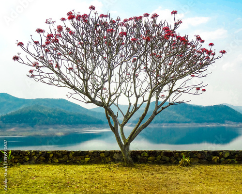 Pink flowered tree with grass and lake