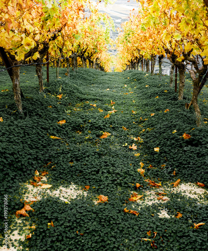 Maple trees in autumn, Greece - 199278066