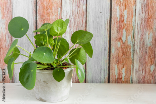 Pilea peperomioides, roślina pieniądze w doniczce. Odosobniony. Drewniane tła.