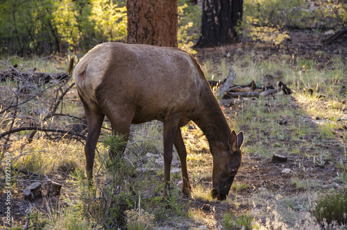 Foto op Aluminium Arizona deer gazing in forest in grand canyon in the united states of america