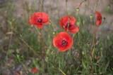 Nahaufnahme von roten Mohnblumen in der Naur