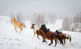 Running horses in the mountains in winter - 199305236