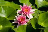 Blühende Seerosen in einem Teich