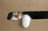 A three-colored kitten gnaws a cardboard box. Kitty put his paw out of the box. Isolated