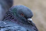 Fototapeta Rainbow - portrait of a pigeon bird, closeup, portret ptak miejski gołąb, beżowe rozmyte tło, wiosna © Ewa Cierniak