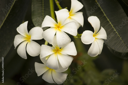 Aluminium Plumeria Beautiful white flowers in the garden with nature.