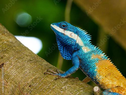 Fototapeta close up thai chameleon