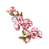 Branch of cherry blossoms. Hand draw watercolor illustration.