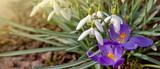Snowdrop flowers and purple crocuses.