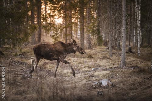 Foto Murales Moose walking in forest