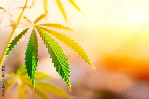 Green leaf of cannabis, background image. Thematic photos of hemp and marijuana