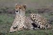 Cheetah resting in the Masai Mara national Park in Kenya