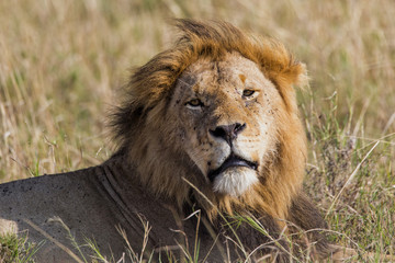 Male lion resting in the Masai Mara national Park in Kenya