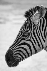 Closeup of a zebra