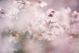Beautiful blurry blossom daisy flowers background. Selective focus used. - 199398078