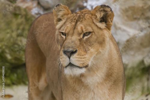 Plexiglas Lion Close-up photo portrait of an alert Barbary lioness