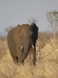 Elephant in Kruger National Park, South Africa