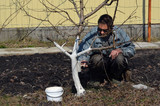 Spring protection of fruit trees in the garden.Whitewashing of trees in spring - 199431403