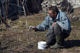 Spring protection of fruit trees in the garden.Whitewashing of trees in spring - 199431410