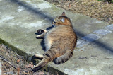 Pregnant cat resting, cat with a big belly lying on the concrete. - 199431650
