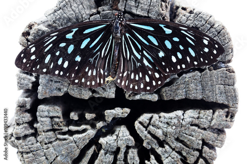 Foto op Aluminium Vlinders in Grunge dead beautiful butterfly on grunge wooden tree trunk background isolated on white