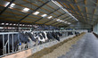 Cows in modern Dutch stable. Roughage
