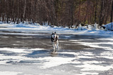 Dog breed Siberian Husky running on the black ice of a frozen lake on a sunny day