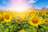 Close-up of sun flower against a blue sky.