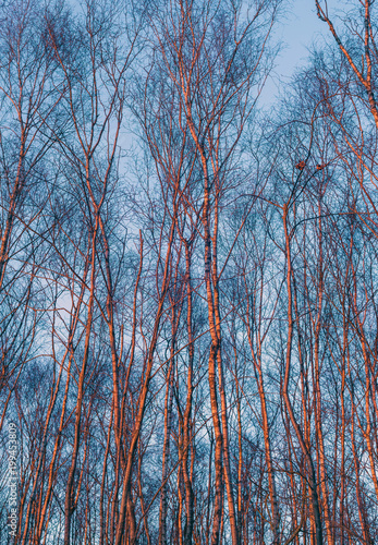 Winter birch tree trunks orange coloured by evening sun. - 199453809