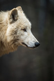 Portrait of Arctic Wolf (Canis lupus arctos) aka Polar Wolf or White Wolf.