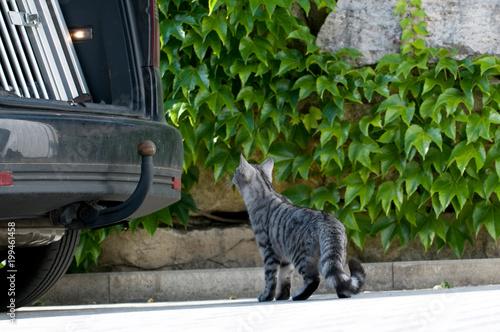 Neugierige Katze schaut in den Kofferraum eines Autos - 199461458