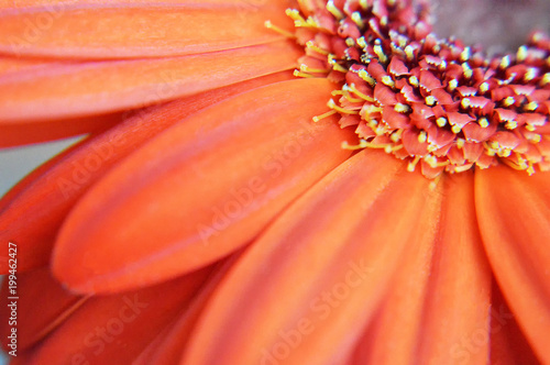 Aluminium Gerbera Gerbera flower macro