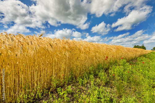 Countryside landscape with field of ripening wheat and wild  red flowers on the foreground - 199463225