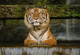Portrait Tiger watching in waterfall