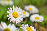 Beautiful white daisies flowers. Green grass and chamomiles in the nature
