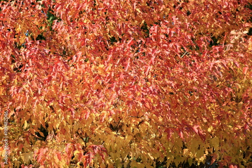 red and yellow leafs at autumn - 199482046