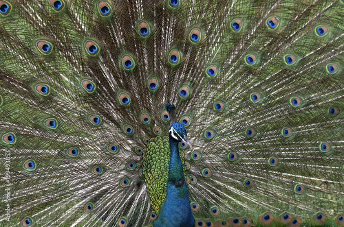 Peacock Feathers Spread