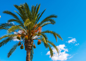 beautiful spreading palm tree, exotic plants symbol of holidays, hot day, big leaves