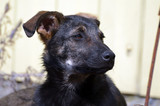 Domestic puppy mixed breed - 199518463
