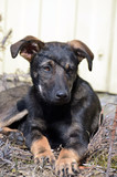 Domestic puppy mixed breed - 199518469