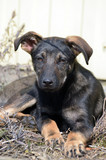 Domestic puppy mixed breed - 199518475