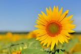 beautiful sunflower under blue sky  in a field