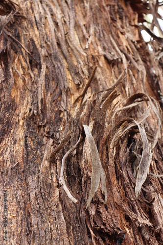 Australian tree country outback bark - 199540026