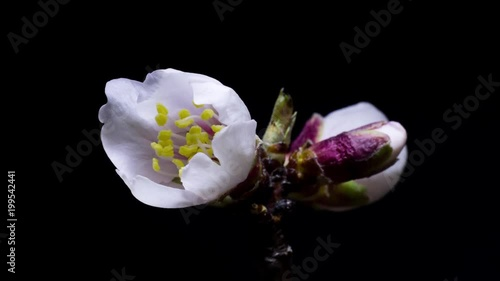 white buds of almond flowers unfold on a black background