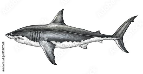 Fototapeta Great white shark hand drawing vintage engraving illustration