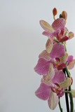 Pink and yellow orchids, white background